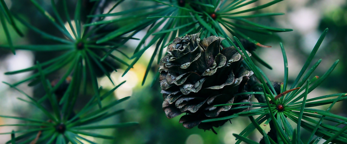 pine cone hanging from branch